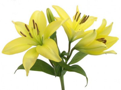 995479__yellow-lily_p